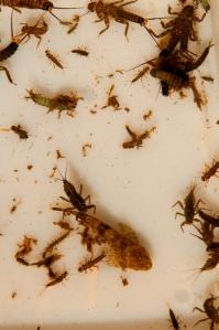 Fly-Fishing Entomology Class